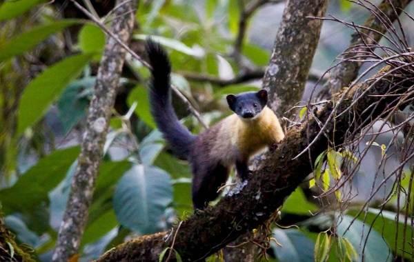 Харза-животное-Описание-особенности-виды-образ-жизни-и-среда-обитания-харзы-6