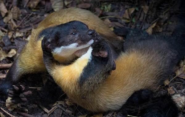 Харза-животное-Описание-особенности-виды-образ-жизни-и-среда-обитания-харзы-7