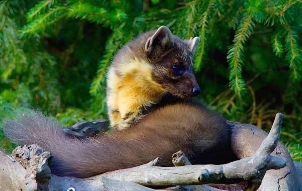 Харза-животное-Описание-особенности-виды-образ-жизни-и-среда-обитания-харзы-8