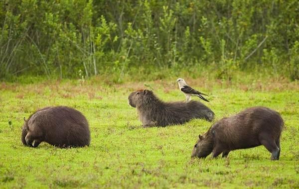 Капибара-животное-Описание-особенности-виды-образ-жизни-и-среда-обитания-капибары-10