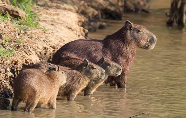 Капибара-животное-Описание-особенности-виды-образ-жизни-и-среда-обитания-капибары-11