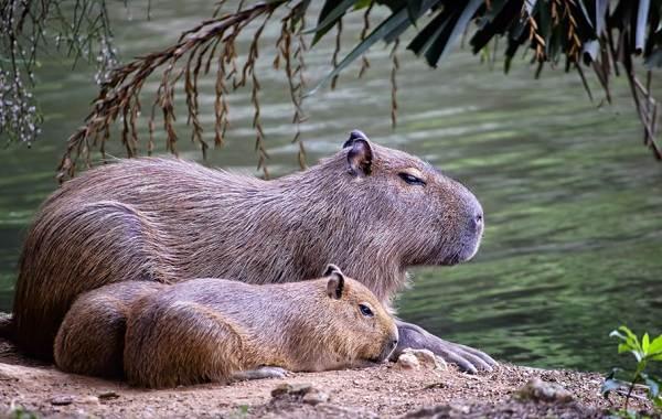 Капибара-животное-Описание-особенности-виды-образ-жизни-и-среда-обитания-капибары-12