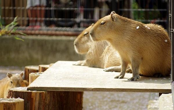 Капибара-животное-Описание-особенности-виды-образ-жизни-и-среда-обитания-капибары-13