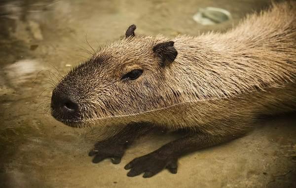 Капибара-животное-Описание-особенности-виды-образ-жизни-и-среда-обитания-капибары-3