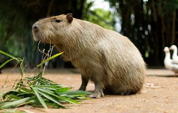 Капибара-животное-Описание-особенности-виды-образ-жизни-и-среда-обитания-капибары-4