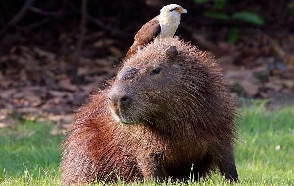 Капибара-животное-Описание-особенности-виды-образ-жизни-и-среда-обитания-капибары-6