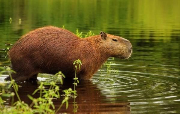 Капибара-животное-Описание-особенности-виды-образ-жизни-и-среда-обитания-капибары-7