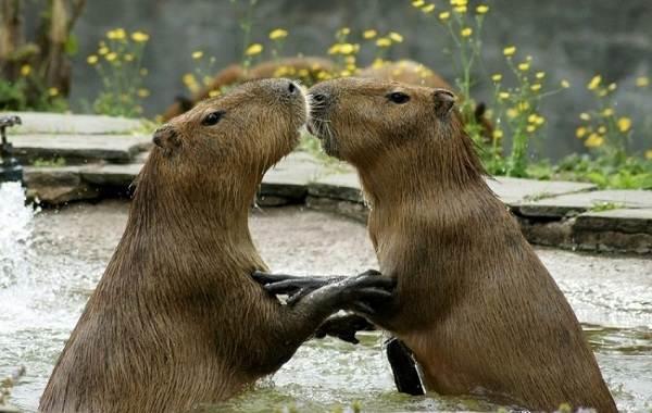 Капибара-животное-Описание-особенности-виды-образ-жизни-и-среда-обитания-капибары-8