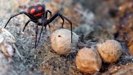Каракурт паук. Описание, особенности, виды, образ жизни и среда обитания каракурта