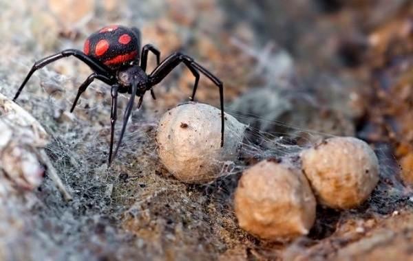 Каракурт-паук-Описание-особенности-виды-образ-жизни-и-среда-обитания-каракурта-1