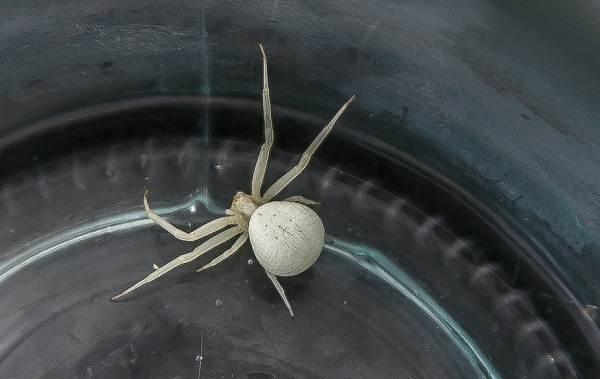 Каракурт-паук-Описание-особенности-виды-образ-жизни-и-среда-обитания-каракурта-10