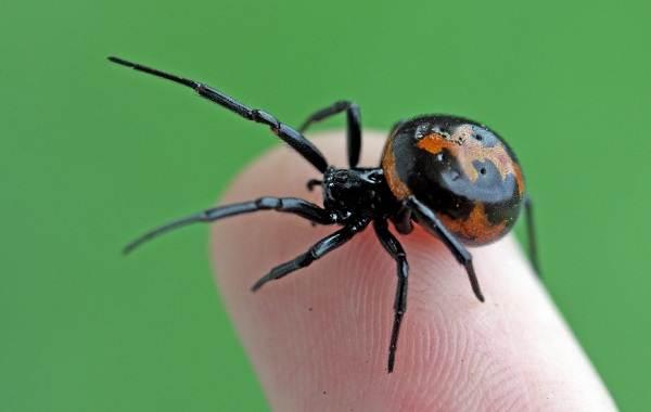 Каракурт-паук-Описание-особенности-виды-образ-жизни-и-среда-обитания-каракурта-11