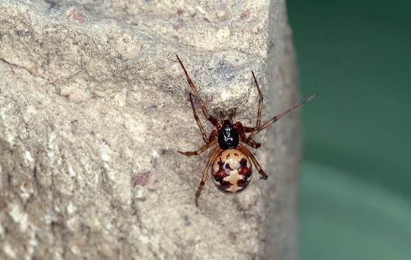 Каракурт-паук-Описание-особенности-виды-образ-жизни-и-среда-обитания-каракурта-12