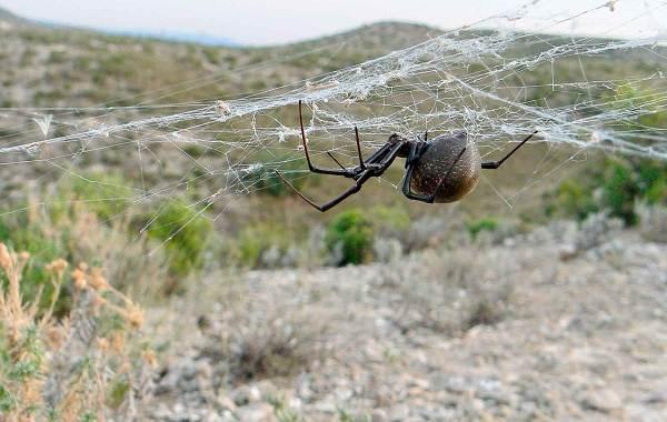 Каракурт-паук-Описание-особенности-виды-образ-жизни-и-среда-обитания-каракурта-14