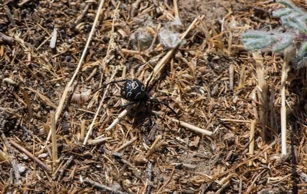 Каракурт-паук-Описание-особенности-виды-образ-жизни-и-среда-обитания-каракурта-15