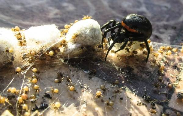 Каракурт-паук-Описание-особенности-виды-образ-жизни-и-среда-обитания-каракурта-19
