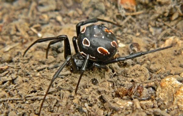 Каракурт-паук-Описание-особенности-виды-образ-жизни-и-среда-обитания-каракурта-2