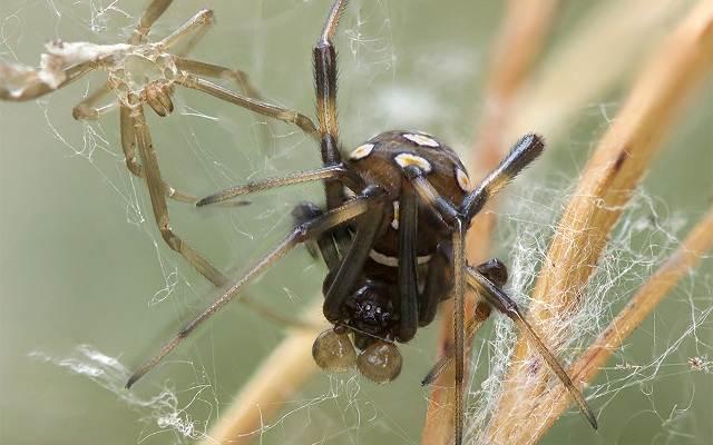 Каракурт-паук-Описание-особенности-виды-образ-жизни-и-среда-обитания-каракурта-5