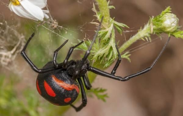 Каракурт-паук-Описание-особенности-виды-образ-жизни-и-среда-обитания-каракурта-6