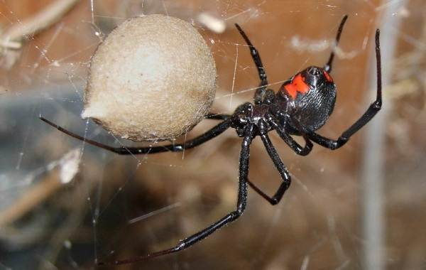 Каракурт-паук-Описание-особенности-виды-образ-жизни-и-среда-обитания-каракурта-8