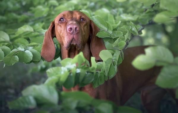 Каталбурун-собака-Описание-особенности-виды-характер-уход-и-цена-породы-каталбурун-10