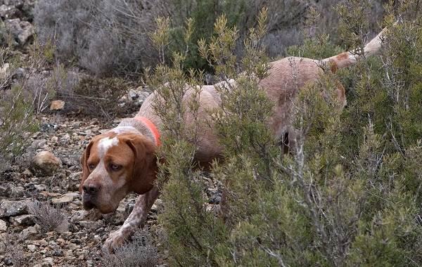 Каталбурун-собака-Описание-особенности-виды-характер-уход-и-цена-породы-каталбурун-11