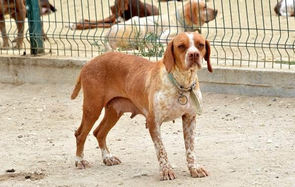 Каталбурун-собака-Описание-особенности-виды-характер-уход-и-цена-породы-каталбурун-7