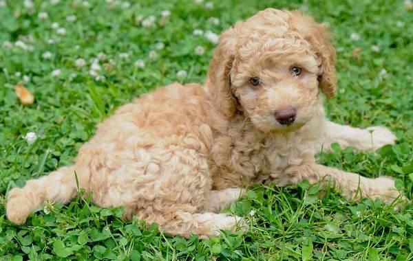 Лабрадудель-новая-порода-собак-Описание-особенности-характер-и-цена-породы-10