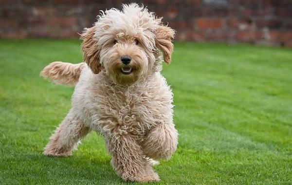 Лабрадудель-новая-порода-собак-Описание-особенности-характер-и-цена-породы-11