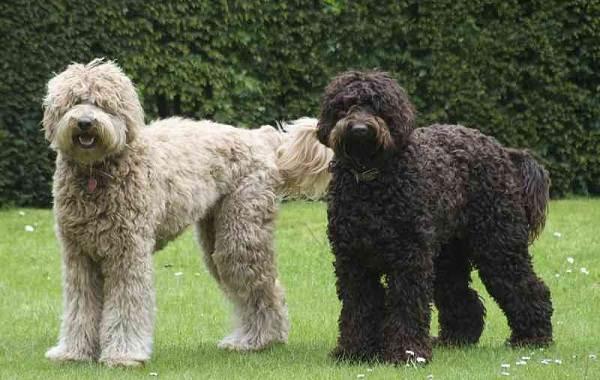 Лабрадудель-новая-порода-собак-Описание-особенности-характер-и-цена-породы-12