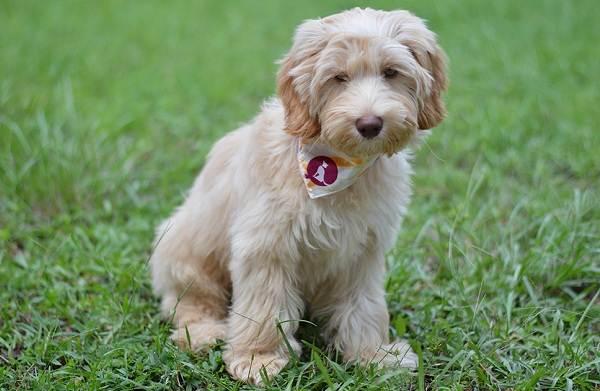 Лабрадудель-новая-порода-собак-Описание-особенности-характер-и-цена-породы-13