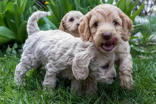 Лабрадудель-новая-порода-собак-Описание-особенности-характер-и-цена-породы-14