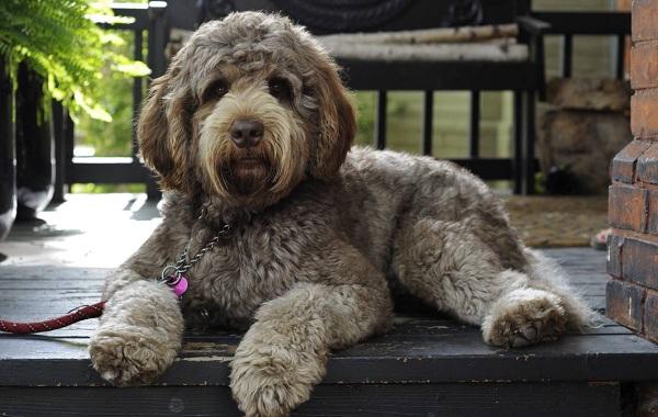 Лабрадудель-новая-порода-собак-Описание-особенности-характер-и-цена-породы-15