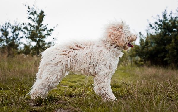 Лабрадудель-новая-порода-собак-Описание-особенности-характер-и-цена-породы-16