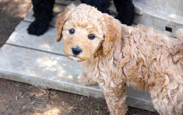 Лабрадудель-новая-порода-собак-Описание-особенности-характер-и-цена-породы-17