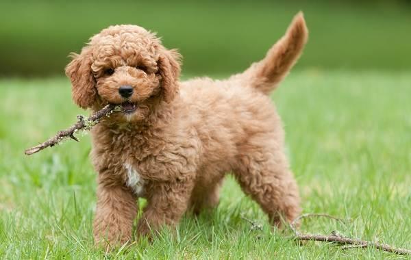 Лабрадудель-новая-порода-собак-Описание-особенности-характер-и-цена-породы-2