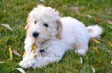 Лабрадудель новая порода собак. Описание, особенности, характер и цена породы