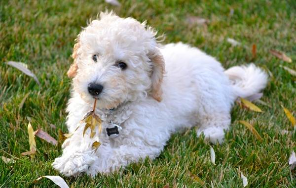 Лабрадудель-новая-порода-собак-Описание-особенности-характер-и-цена-породы-3