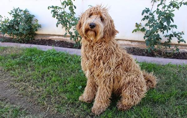 Лабрадудель-новая-порода-собак-Описание-особенности-характер-и-цена-породы-4