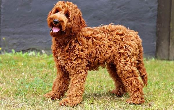 Лабрадудель-новая-порода-собак-Описание-особенности-характер-и-цена-породы-5