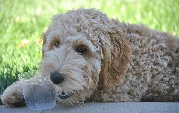 Лабрадудель-новая-порода-собак-Описание-особенности-характер-и-цена-породы-6