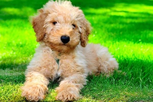 Лабрадудель-новая-порода-собак-Описание-особенности-характер-и-цена-породы-7