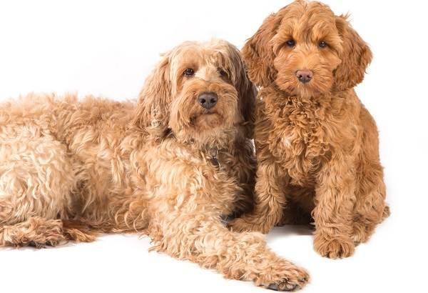 Лабрадудель-новая-порода-собак-Описание-особенности-характер-и-цена-породы-8