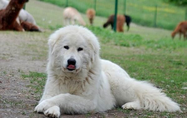 Маремма-собака-Описание-особенности-характер-виды-уход-и-цена-мареммы-1