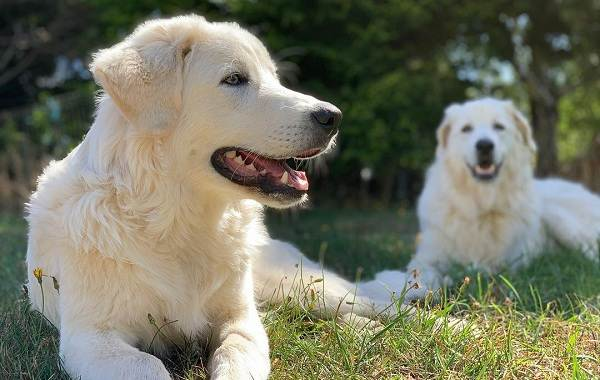 Маремма-собака-Описание-особенности-характер-виды-уход-и-цена-мареммы-10