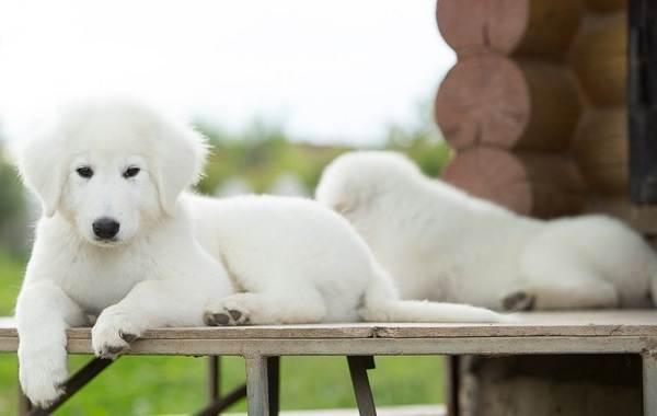 Маремма-собака-Описание-особенности-характер-виды-уход-и-цена-мареммы-11