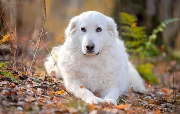 Маремма-собака-Описание-особенности-характер-виды-уход-и-цена-мареммы-2