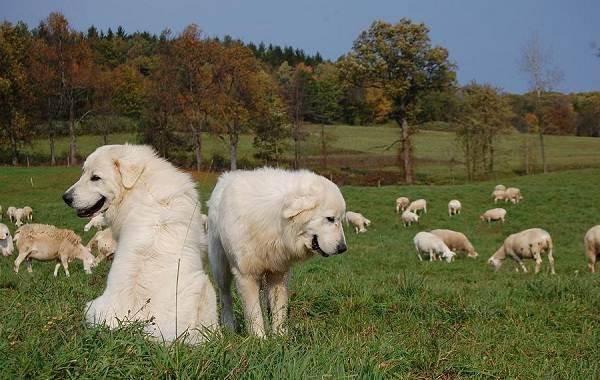 Маремма-собака-Описание-особенности-характер-виды-уход-и-цена-мареммы-3
