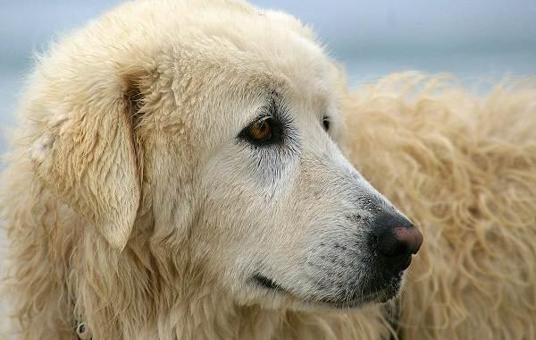 Маремма-собака-Описание-особенности-характер-виды-уход-и-цена-мареммы-4