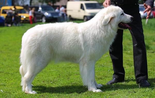 Маремма-собака-Описание-особенности-характер-виды-уход-и-цена-мареммы-5